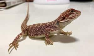 Gecko negozio di animali a cassola vicenza
